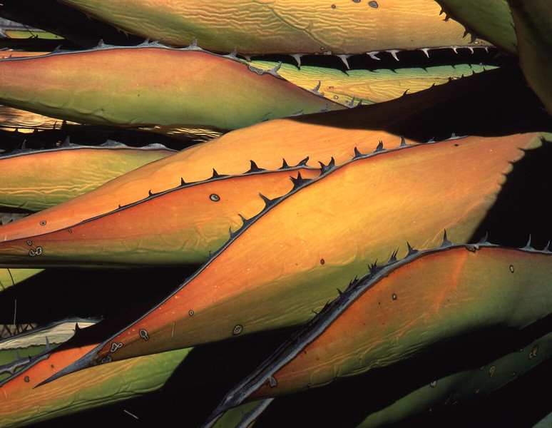 Baja, Sierra San Borja, MEX/Agave (Agave shawii) leaves wrinkled, dying, and colored by the sun.  888h                           a