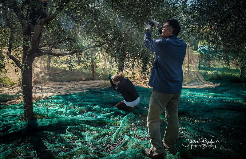 olive picking, Tuscany
