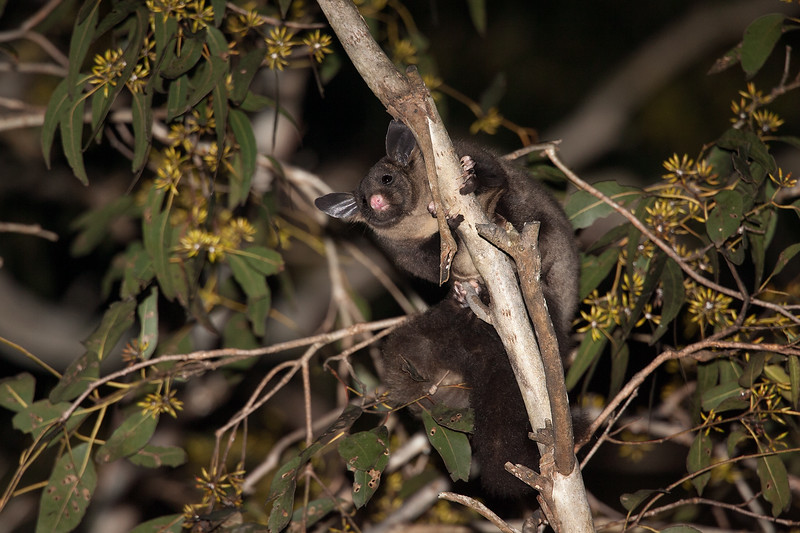 Yellow-bellied-Glider_AGL9605.jpg