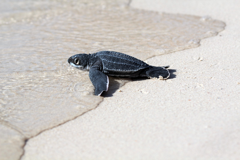 """""""H"""" is for hatchling.  While in Aruba I was very fortunate to witness baby Leatherback turtles emerge from the sand and journey into the sea.  It was incredible and perfect since I have such a love for sea turtles."""