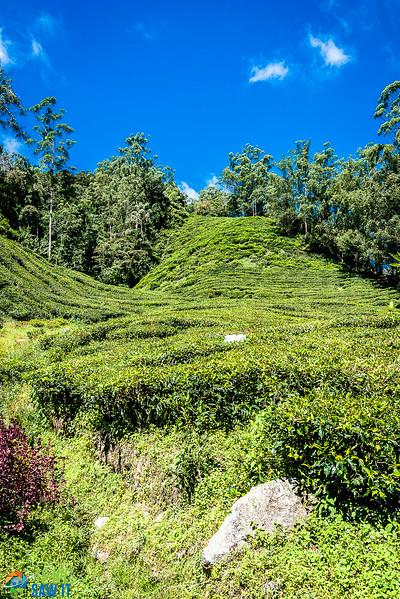 BOH-Tea-Plantation-08550.jpg