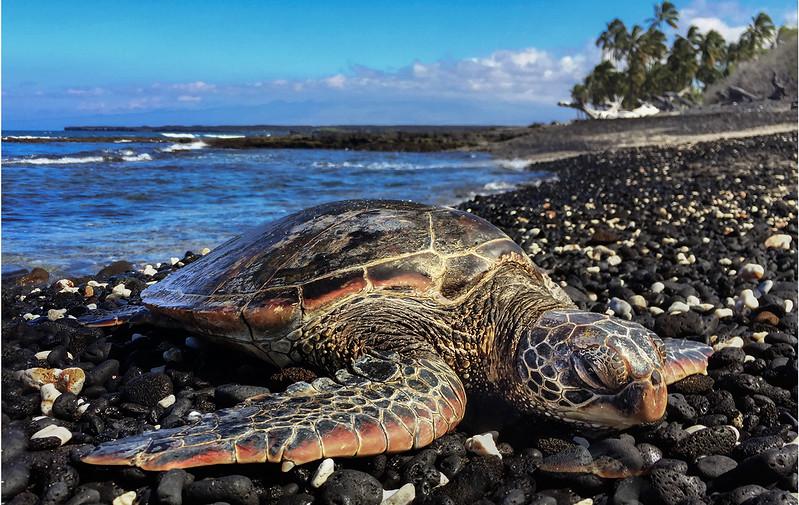 Hawksbill Sea Turtle, Hawaii_Colton_Fauna_2.8.17_IMG_4302 copy copy.jpg