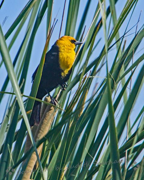 Yellow-headed Blackbird - Judith Sparhawk