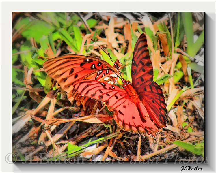 Not sure - perhaps Gulf Fritillary Butterlies (agraulis vanillae)