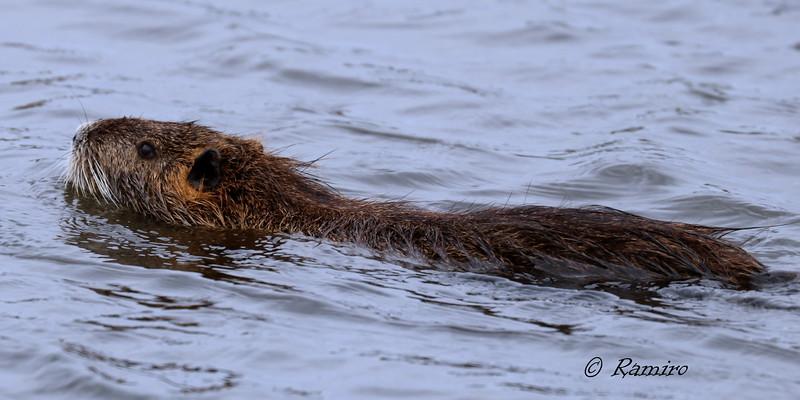 Beaver IMG_6449.jpg