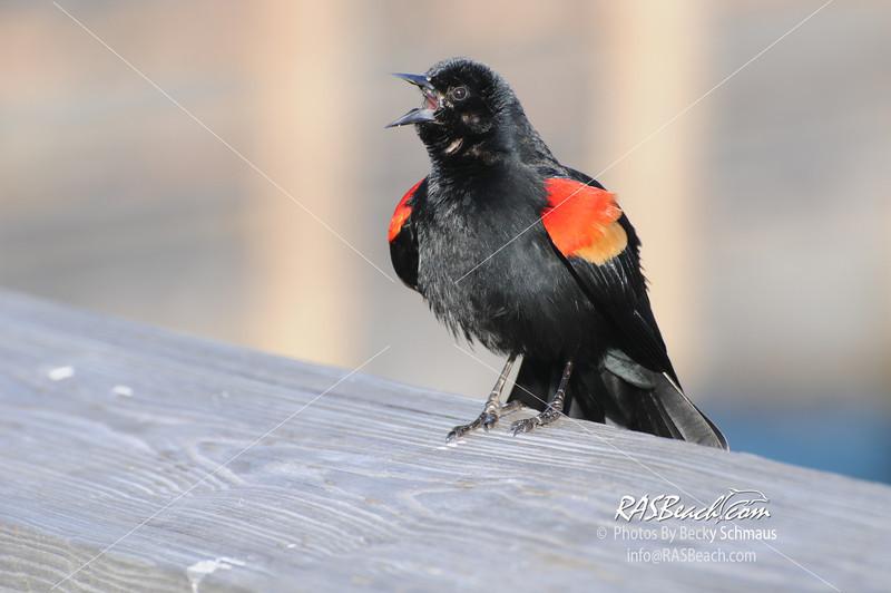 Redwing Blackbird_295