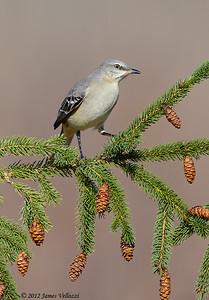 Northern Mockingbird, Mimus polyglottos