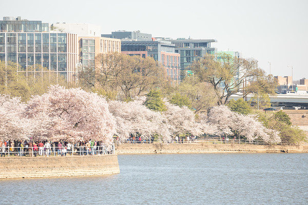 Cherry Blossoms (2019-04)