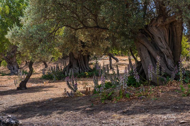 olive groves, Sicily