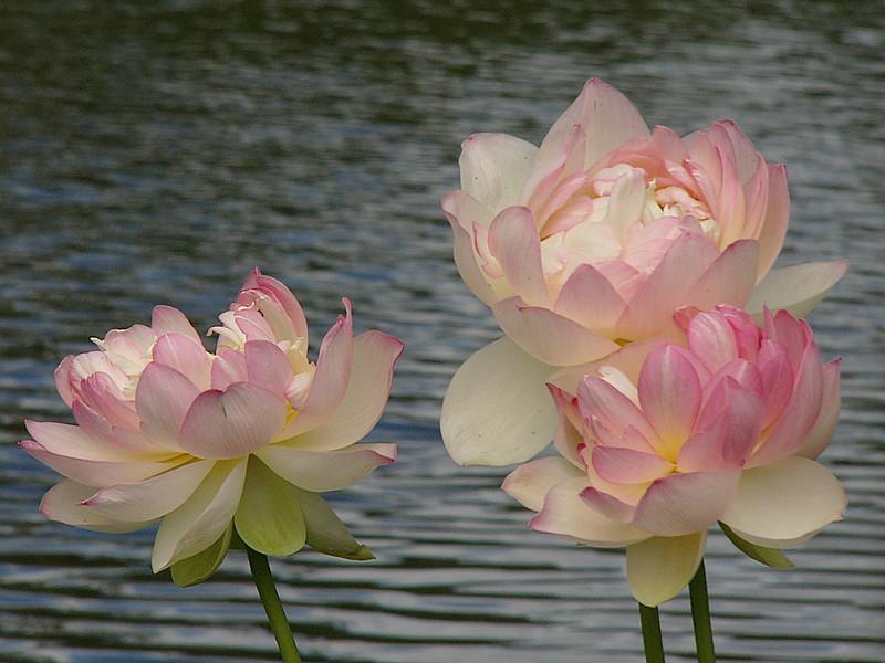 20120105_1555_3043 lotus