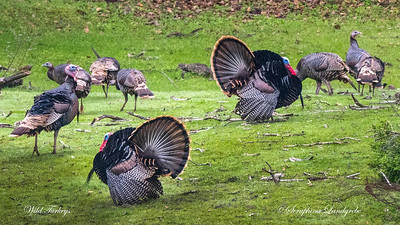 Game Birds, Quail & Wild Turkeys