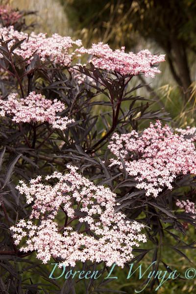 Sambucus nigra Black Lace_005.jpg