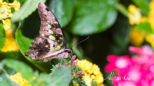 Papillon_ALR2551.jpg