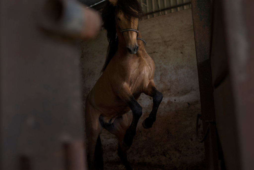 . In this photo taken on Monday, April. 8, 2013, a  \'\'Pura Raza Espanola\'\' or Pure Spanish Breed horse belonging to breeder Francisco Mesa is seen inside a stable at La Yeguada de la Nobleza ranch in Almonte, in the southern Spanish region of Andalusia. Barring an unlikely reprieve, Mesa\' purebreds will be turned into horse meat for export come July. They are victims of a wrenching economic downturn that has wiped out fortunes, turned housing developments into ghost towns and left more than a quarter of the population out of work. (AP Photo/Laura Leon)