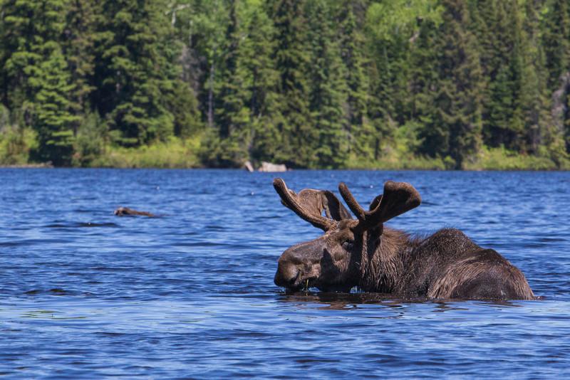 Bull Moose in Algonquin Park
