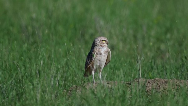 6-30-17 Videos - Burrowing Owls