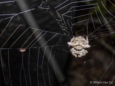 Hairy Field Spider (Neoscona sp.)