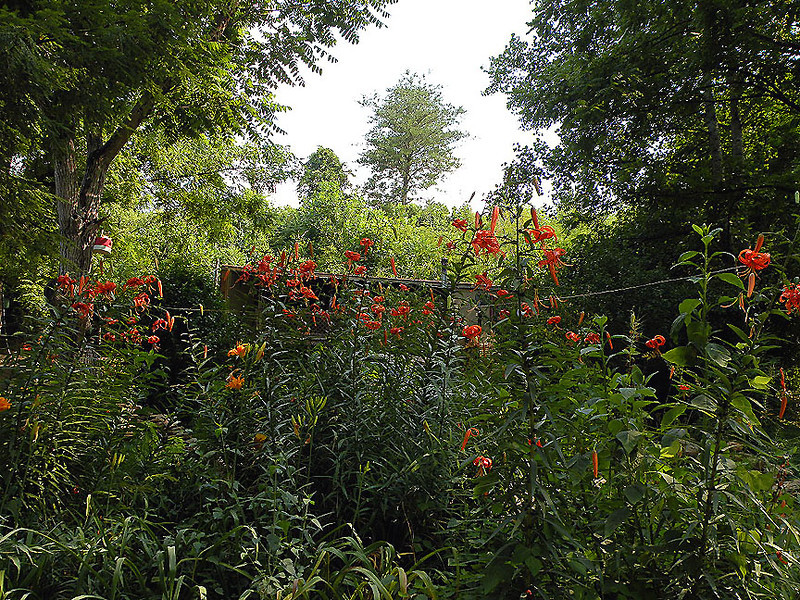 Lots of Tiger Lilies.jpg