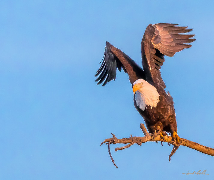 Great American Bald Eagle, ready for flight at sunset