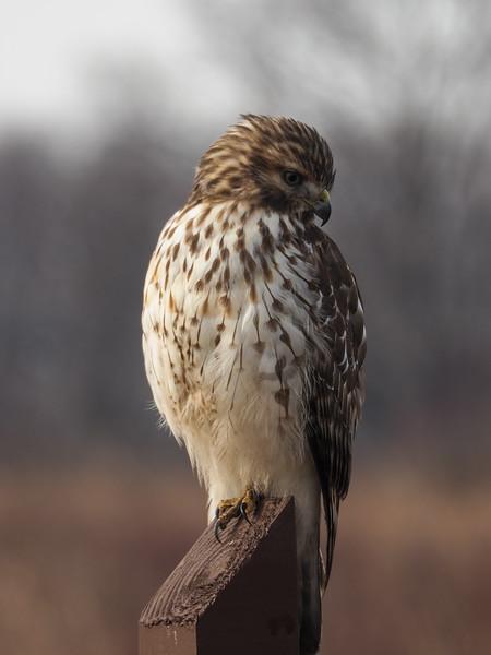 Cooper's Hawk, immature