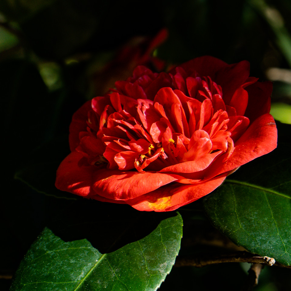 Red Camilia in the morning light