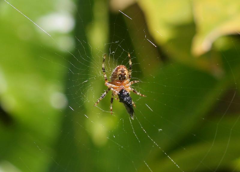 0877 Spider & Meal.jpg