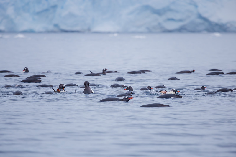 Facts about Antarctica - Gentoo penguin raft