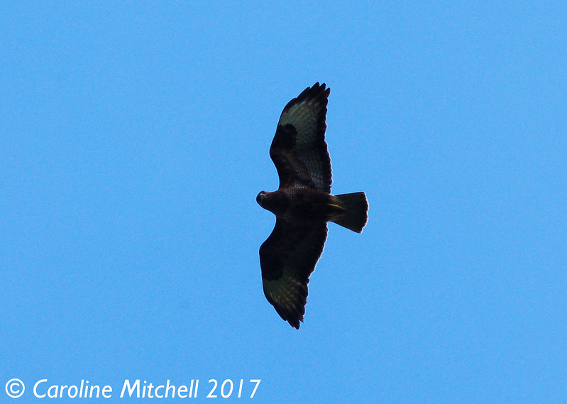 Buzzard overhead, Wildboar Cutting,  Eden Valley Railway, 7th June 2017