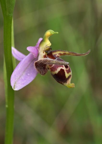 Orchideeën op Corfu