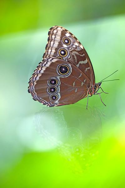 Brown Butterfly (Probally Morpho didius), Panama.