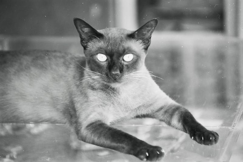 Siamese cat  nathon .jpg