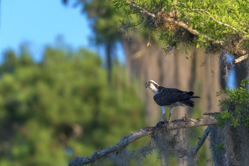 2021_KSMetz_Florida_Osprey Trip_NIKON D5_1644-Edit.jpg