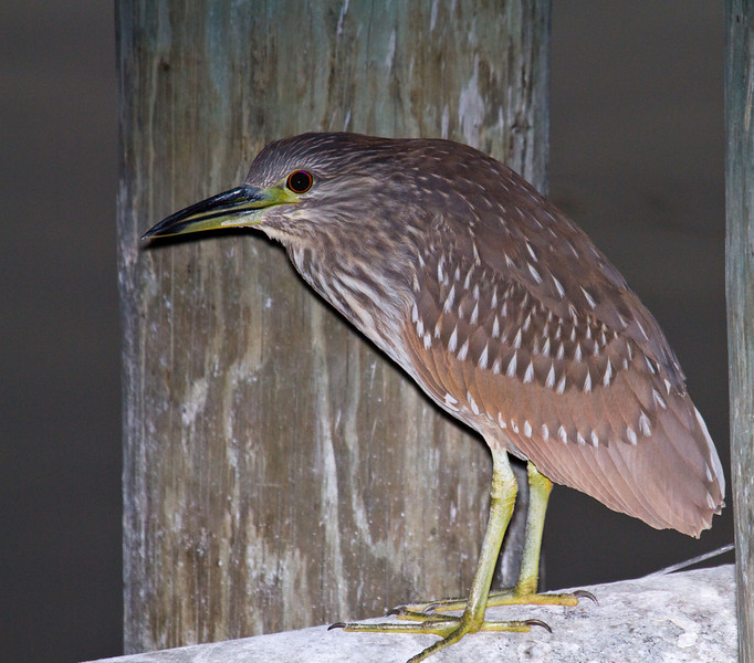 black crowned night heron juvi