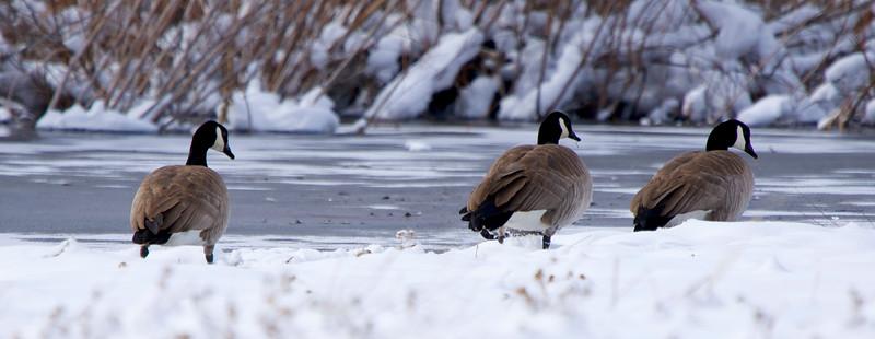 Canadian Geese in Utah