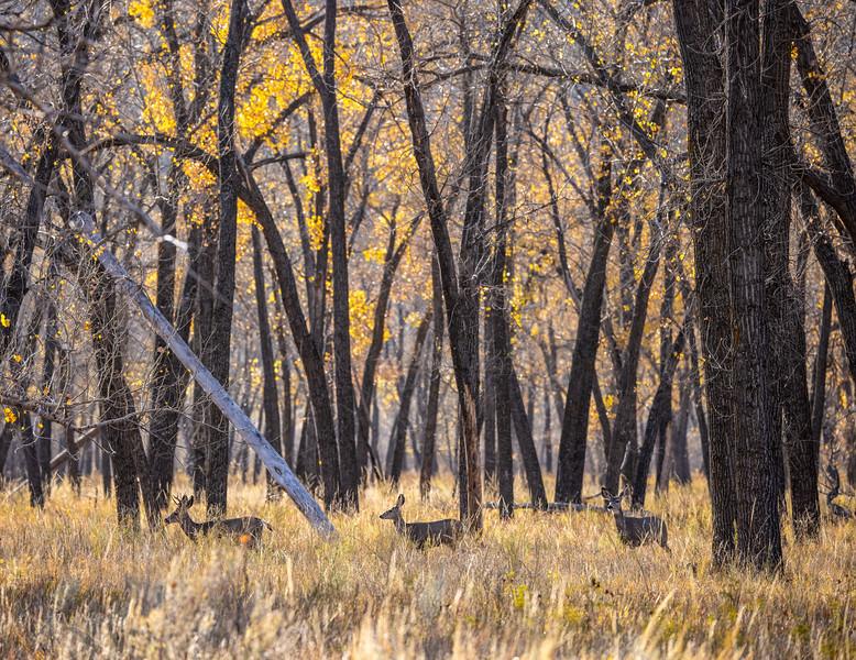 Mule Deer Theodore Teddy Roosevelt National Park Medora ND IMGC0862-2.jpg