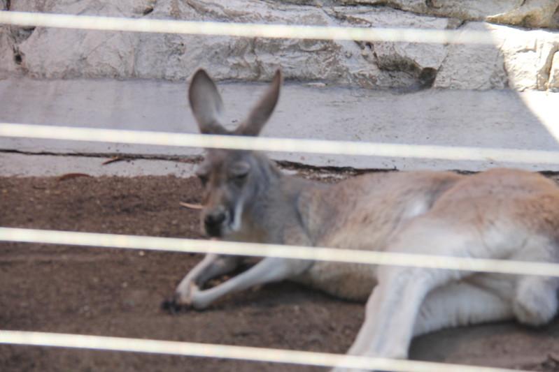 20170807-045 - San Diego Zoo - Kangaroo.JPG