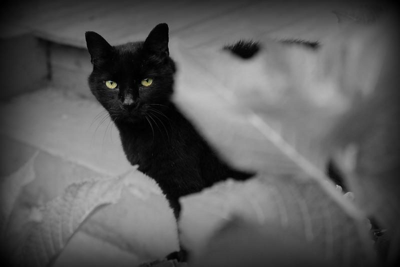 Bobb Cat . . . wondering what I'm doing in the hydrangea bush.
