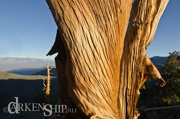Bristle Cone Pines