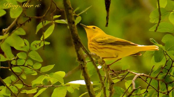 Yellow Warbler_DWL1683.jpg