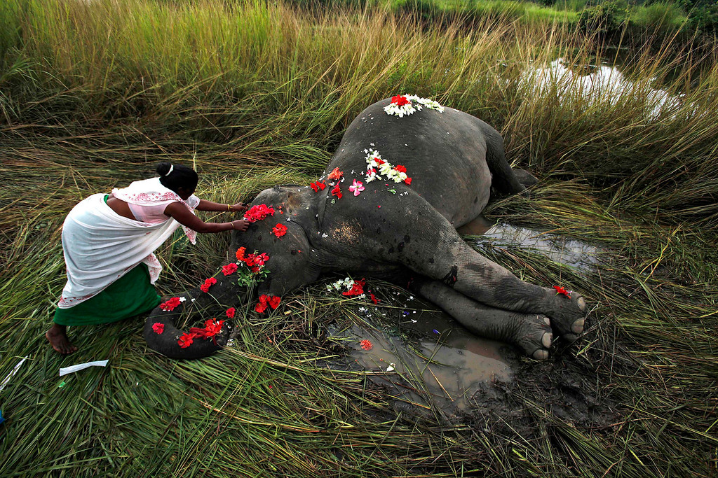 . In this Sept. 1, 2012 file photo, a villager offers flowers to a female adult elephant lying dead on a paddy field in Panbari village, about 50 kilometers (30 miles) east of Gauhati, India. The elephant was hit by a train and killed while crossing railway tracks with a herd of wild Asiatic elephants. (AP Photo/Anupam Nath, File)