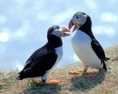 Puffins of Elliston, NL