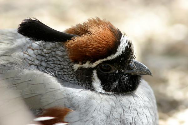 Doves, Cranes, Grouse, Quail, Rails, Cuckoo, Roadrunner