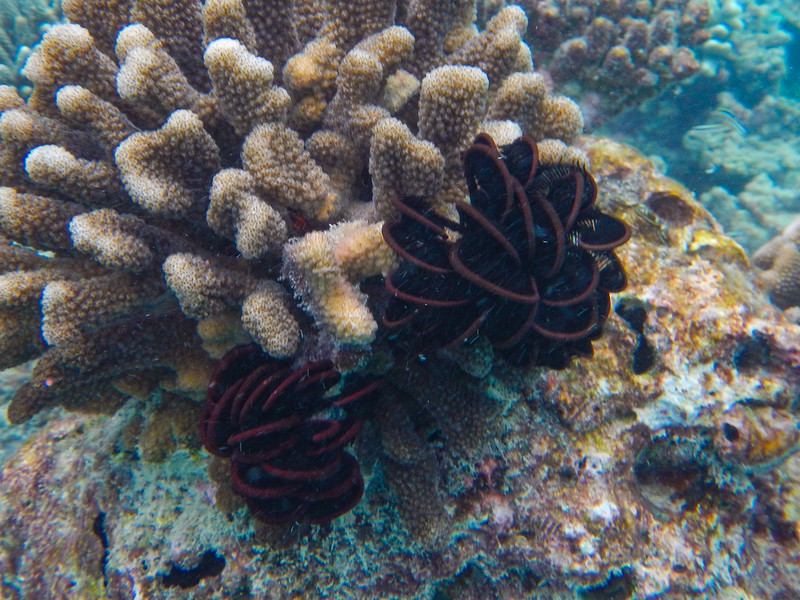 Sawtoothed Feather Star (Oligometra serapinna)