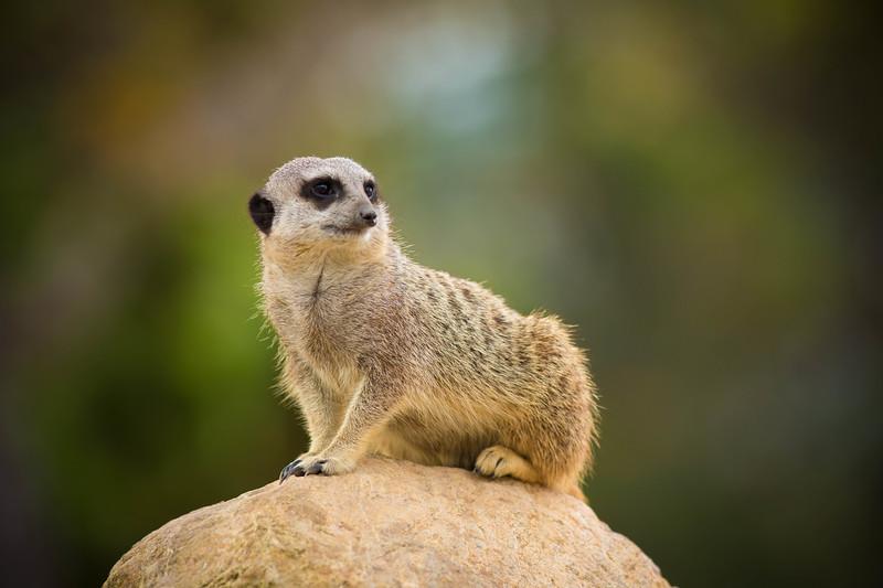 meerkat-watcher.jpg