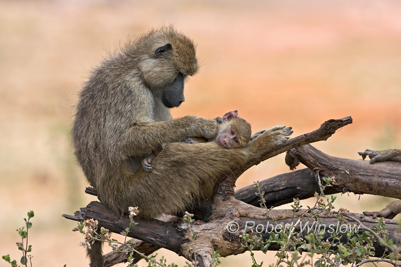 Primates - Baboons