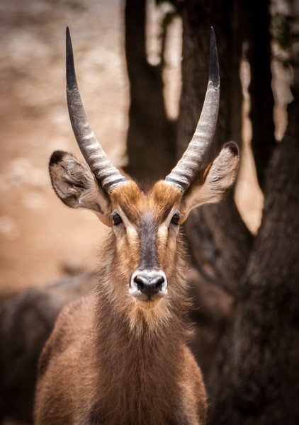 Common Waterbuck