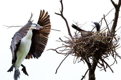 Shags (Cormarants)