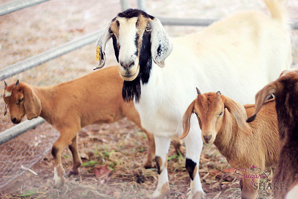 More goat action. © 2012 Sugar + Shake