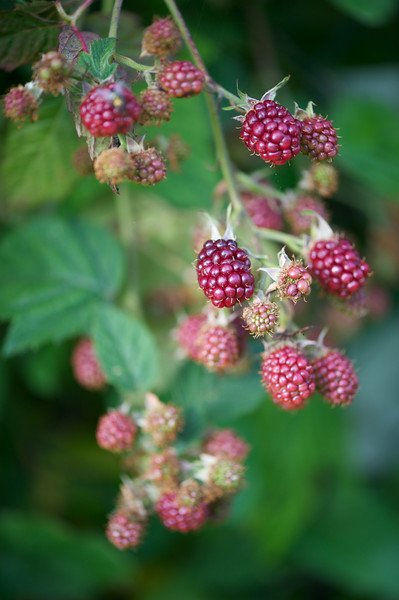 Blackberries ripening.jpg