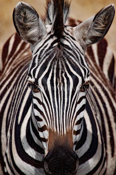 ZebraStraightOn.jpg